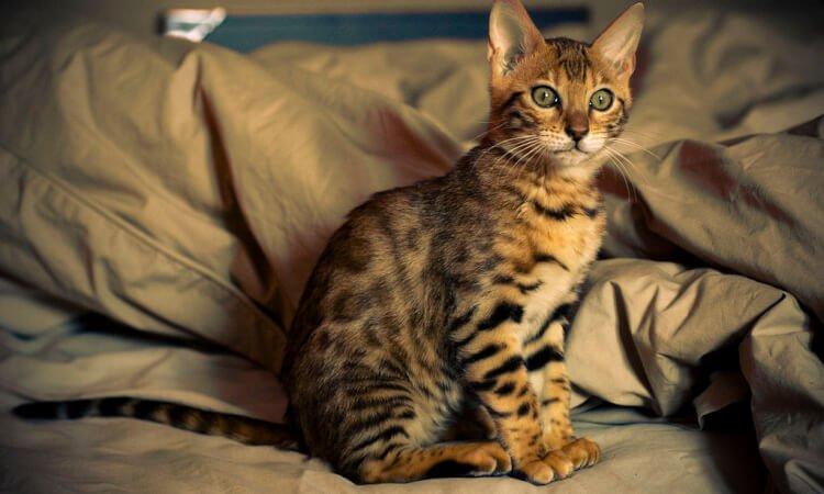 5 dyraste kattraserna - Bengal
