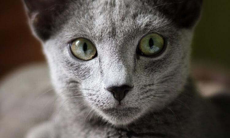5 dyraste kattraserna - Russian Blue