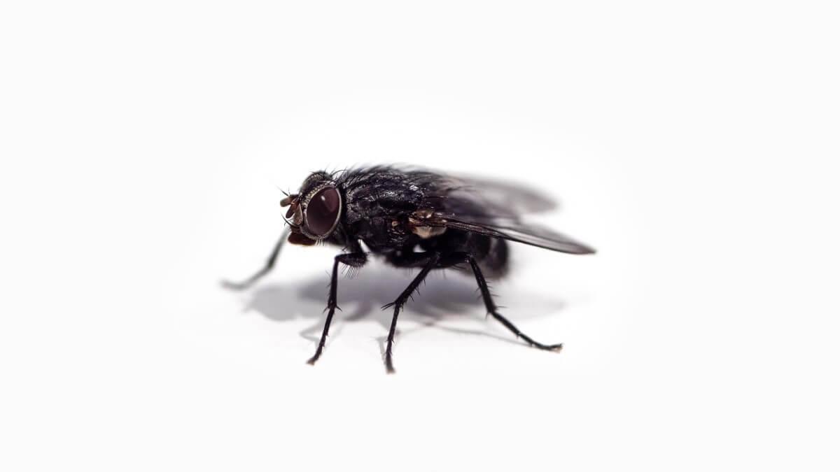 6 sätt att bli av med bananflugor