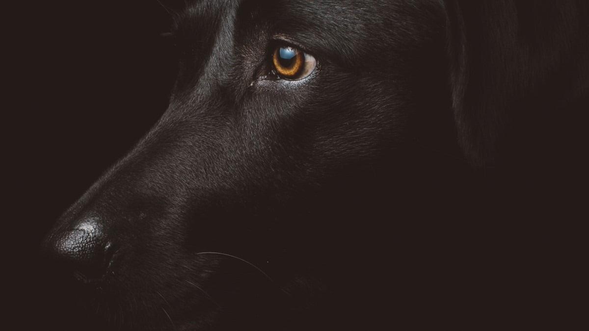 världens största hund