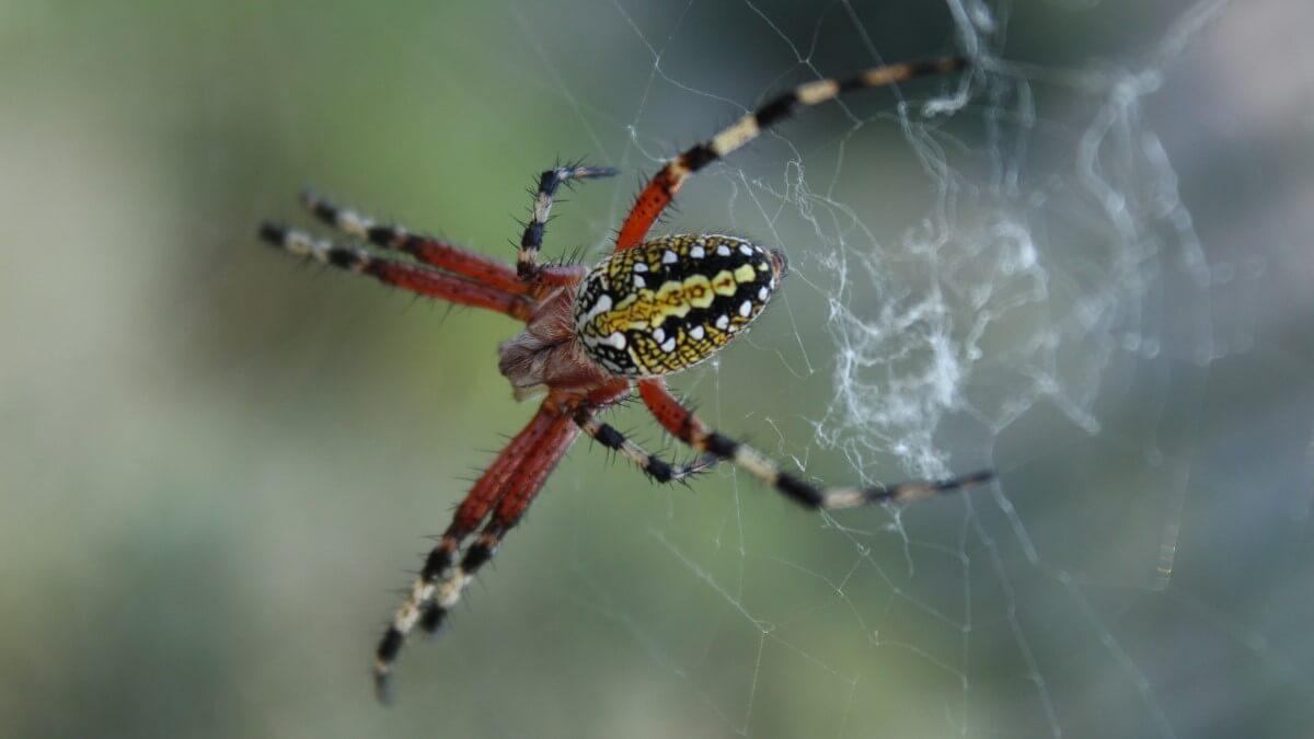 Världens 10 största spindlar