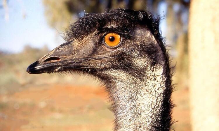 Världens största fåglar - Australisk Emu