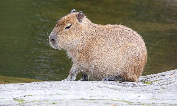 Världens största gnagare - Kapybara